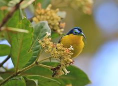 Yellow Bellied Sunbird Asity. Proberbly the one of the prettiest little birds i have ever photographed, this is why i enjoy photography. Geotagged,Madagascar,Neodrepanis hypoxantha,Winter,Yellow-bellied sunbird-asity