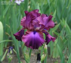 iris 'gypsy romance'
