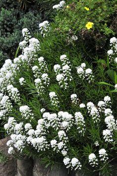 bush street, white flowers, Iberis