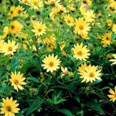 Helianthus Lemon Queen - Perennial Sunflower