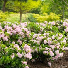 Rhododendron 'Bloombux' ® 1