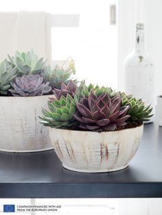Echeveria is the Houseplant of the Month August - thejoyofplants.co.uk