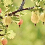 Kedy strihať egreše Fruit, Garden, Plants, Garten, Planters, Plant, Gardens, Tuin