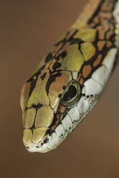 Twig #snake #reptile