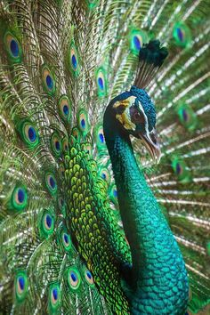Because of its fascinating appearance, peacocks have been widely domesticated as pets. People are amazed when a peacock (male bird) begins to walk around and display its magnificent tail feathers. Pretty Birds, Beautiful Birds, Animals Beautiful, Peacock Images, Peacock Pictures, Exotic Birds, Colorful Birds, Exotic Pets, Peacock Painting
