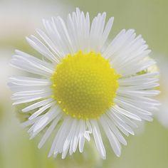 #flowers #flower #nature #beautiful #plants #blossom #flowerstagram #floral #florals #insta_pick_blossom #bloom #フラワー #花 #植物 #自然 #photographer #photographers #35mmf2 #osaka #japan #tumblr #tumblrgram #写真好きな人と繋がりたい #ファインダー越しの私の世界 #white #yellow #黄色 #白