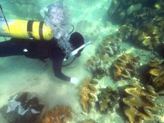 A researcher approaches giant clams off Bolinao in the Philippines. The clams form an integral part of a coral reef's ecosystem. A large clam can weigh more than 440 pounds (200 kilograms) and measure up to 4 feet (1.2 meters) long.