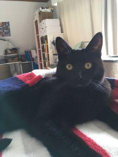 What an adorable short Harold Black Cat