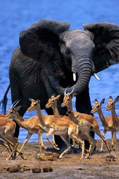 Volunteer with Via Volunteers in South Africa and be amazed by our stunning wildlife!Elephant and impala Animals Of The World, Animals And Pets, Baby Animals, Cute Animals, African Elephant, African Animals, African Safari, Beautiful Creatures, Animals Beautiful