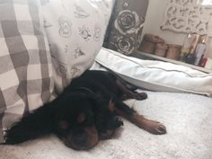 #dog #photo #cavalier #inspiration #sleepy #puppy