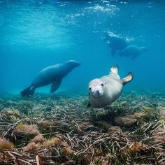 """When you're out for a snorkel on @rottnestislandwa and these guys rock up... lucky @daxon got to experience seeing these Australian Sea Lions swimming and playing in the wild. The slice of paradise that is #RottnestIsland is located just 19 kilometres off the coast of #Perth in @westernaustralia and given that this state has just been announced as being in @lonelyplanet's #BestinTravel """"Top 10 Best Value destinations"""" to visit in 2016 it's no wonder that this cheeky marine creature is…"""