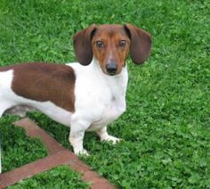 Tanner was the first Mini Dachshund to earn the title Advanced Games Title at the CAANS Agility Trial.