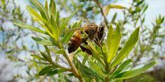 Alecrim-do-campo: planta do cerrado, medicinal e produtora da própolis verde