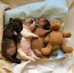 Cuddly Bulldog newborn puppies and a teddy bear, all keeping warm together. Bulldog Puppies, Cute Puppies, Cute Dogs, Dogs And Puppies, Doggies, Frenchie Puppies, Baby Dogs, Chubby Puppies, Chubby Babies