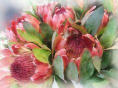 photos of protea - Yahoo Canada Search Results Watercolor Projects, Watercolor And Ink, Watercolor Flowers, Protea Art, Protea Flower, Botanical Art, Botanical Illustration, South African Flowers, Dream Painting