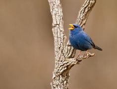 Aves Brasileiras:Campainha-azul (Porphyrospiza caerulescens), Abertura F6.3, Velocidade 1/800, Distância Focal 500 mm. Foto Hugo Viana.