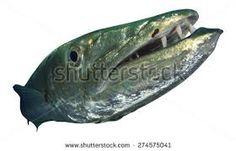 Znalezione obrazy dla zapytania barracuda fish