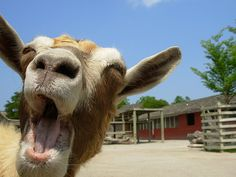 laughing goat! Must of been the grass;)