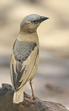 Grey-capped Social Weaver, Tanzania by Hannu Jännes