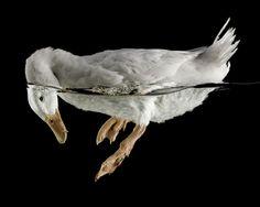 Chuck Bradleys Duck Day     http://www.gllry.com/kunstwerke/shopdetail/bild/chuck-bradley-duck-day-2-150-x-120-diaplex/