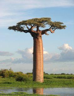 Octava parada... La mejor de todas... Rumbo a Madagascar a ver Baobabs... Habrá que ayudar a El Principito a limpiar el planeta.