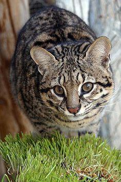 Xeno, a Geoffroy's Cat         at EFBC/FCC