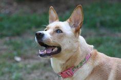 Carolina dog.  Lilly