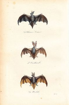 by Etsy - 1870 Gorgeous Antique Victorian Bat Engraving by Vintage Treasure Shop»  Sherlock might like to decorate his lounge with a shadow box containing a stuffed bat and beetles. When it comes to adding a gothic touch, I much prefer this delicate, original 1870 antique bat engraving by French naturalist Georges-Louis Leclerc, Comte de Buffon.