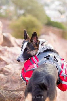 How to train your dog to wear a backpack #pets #dogs