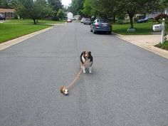 """My guinea pig is walking the dog"""