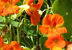 Nastursiums ... brightly coloured, cheerful plants, protect your vegetables from predatory insects and both leaves and flowers are edible too!