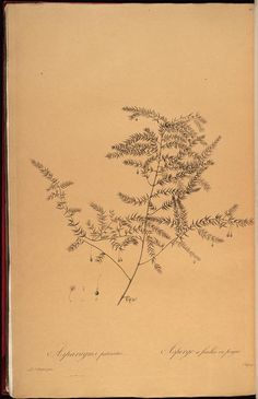 vol. 7 - Les liliacees - Biodiversity Heritage Library