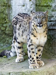 Proud standing snow leopard