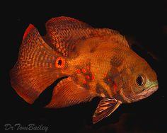 Aquarium Fish, Tropical Fish, and Goldfish for Sale Online Beautiful Tropical Fish, Beautiful Fish, Oscar Fish For Sale, Goldfish For Sale, Tropical Fish Store, Aquarium Pictures, South American Cichlids, Fish Information, Buy A Kitten