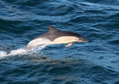 a common dolphin jumps alongside the boat in the Celtic Sea