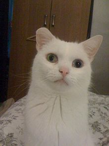 Deaf white cat - Wikipedia, the free encyclopedia
