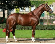 chestnut - Dutch Warmblood stallion Vitalis