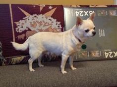 Paris is an adoptable Chihuahua Dog in Elyria, OH. Paris was owned by a women who no longer could care for her. Paris is a nice little dog who likes to spend time on your lap hanging out. She is fine ...