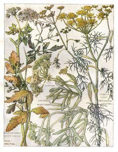 Botanical Print by H. Isabel Adams - Fennel, Rock Samphire