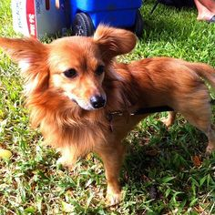 Looks like my dog:) Pomeranian Mix, Dachshund Mix, Little Dogs, Good Night, Dogs And Puppies, Corgi, Pets, Weiner Dogs, Dachshunds