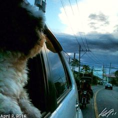 Pepperもねっ? #drivenshot #morning #shihtzu #dog #philippines