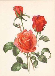 93fdd5067f9e18d3003cdf60efcab650--illustration-rose-orange-roses.jpg (236×324)