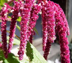 Amaranth Flowers  The amaranth flower is a genus of roughly 60 species, which are all considered cosmopolitan. These annual herbs, which are native to North and South America, can grow between 1 to 6 feet in height, and are thought to be very long lasting plants. This flower, which is a member of the amaranthaceae family and amaranthoideae subfamily, is made up of a small inflorescence which blossoms from an either drooping or erect spike. Their colors range from the well known crimson red…