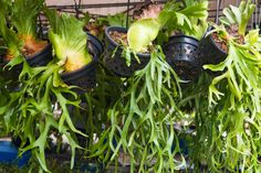 By nature, staghorn ferns are epiphytic plants that grow by attaching themselves to tree trunks or limbs. They aren't parasitic because they draw no nutrition from the tree. So can staghorn ferns be potted? Learn more about potting a staghorn fern here.