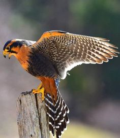 Aplomado Falcon (Falco femoralis) A selection of bird photos Beautiful Birds, Animals Beautiful, Beautiful Creatures, Exotic Birds, Colorful Birds, Bird Barn, Barn Owls, Steampunk Animals, Hawk Bird