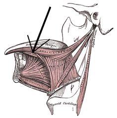 Musculuslongitudinalisinferiorlinguae - Musculus longitudinalis inferior linguae – Wikipédia