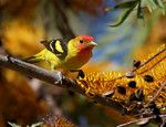 A Western Tanager taken in a Silky Oak tree on Catalina Island in the spring of 2007.