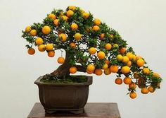 BONSAI+-+Calamondin  Citrus mitis, the Calamondin, is a miniature orange tree that originates from tropical regions of China and Japan. It grows well in pots and can be kept as an indoor plant. The plant blooms from March to June. The small white flowers will perfume your whole house. After pollination, they will grow small orange-like fruits about 3-5 cm wide.