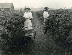 Women picking evergreen blackberries in western Oregon, 1910 Vintage Photographs, Vintage Photos, Antique Photos, Vintage Pins, Old Pictures, Old Photos, Willamette Valley, Oregon Usa, Eugene Oregon