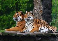 tijgers - Google zoeken